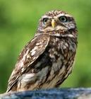 nichoirachevechedathena_kaz-owl-77894_1920.jpg